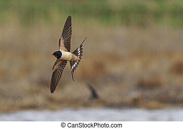 Swallow with open wings in flight