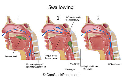 Process of swallowing, eps8