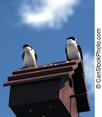 swallows., árbol, dos