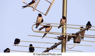 swallows on a tv antenna - swallows on aerial, springtime,...