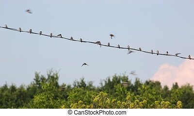 Swallows on the wires - Many swallows on the wires