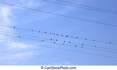Swallows resting and grooming on power lines cables, birds...