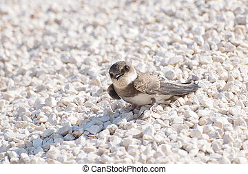 Swallows Sand Martin, riparia riparia