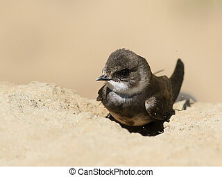 Swallows Sand Martin