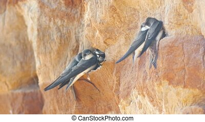 Swallows sitting on the wall on the cliff, close up