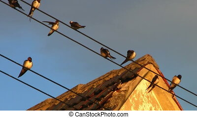 Swallows sitting on wires in a group