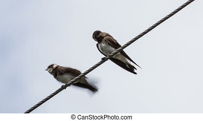 Swallows - two swallows on wires clean feathers