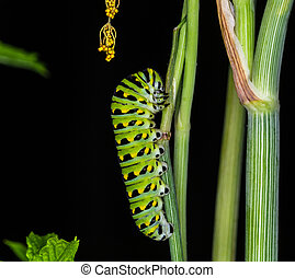 Swallowtail Butterfly Caterpillar