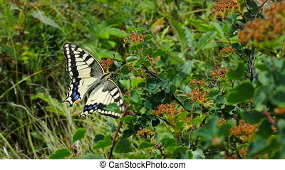 Swallowtail butterfly in Altai mountains