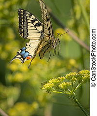 Swallowtail butterfly in flight