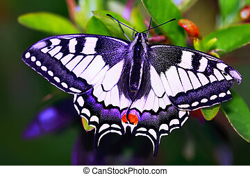 Swallowtail butterfly in flowers, Papilio machaon