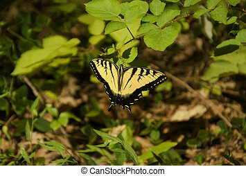 Swallowtail Butterfly Landing