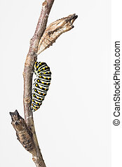 Swallowtail butterfly larva and pupae