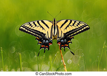 Swallowtail butterfly over fresh green grass natural background