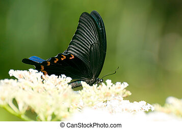 Swallowtail butterfly on the flower