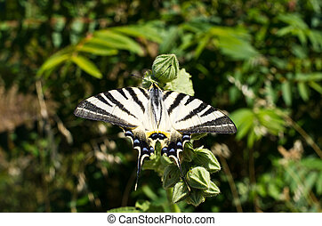 Swallowtail butterfly on the meadow