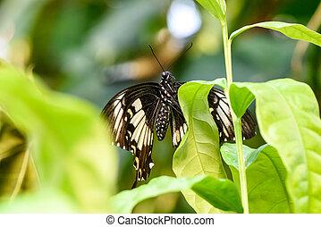 Swallowtail Butterfly (Papilio rumanzovia, Schwalbenschwanz) sitting on a green leaf