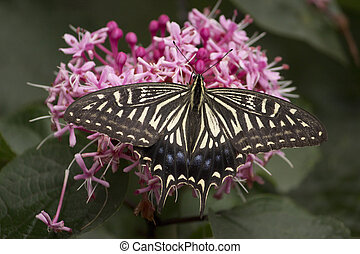 A swallowtail butterfly sucking nectar from flower furing rainy season