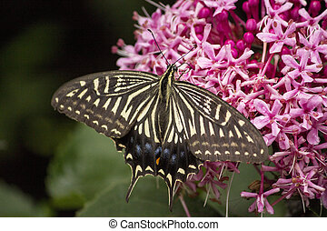 Swallowtail butterfly sucking nectar from flower