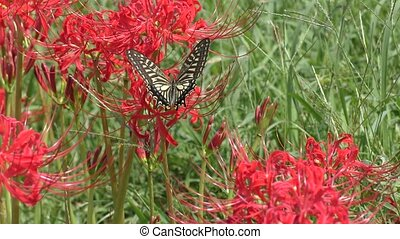Swallowtail butterfly - The swallowtail butterfly which came...