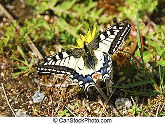 Swallowtail on dandelion
