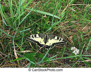 Swallowtail on the grass