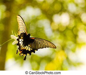 swallowtail schmetterling, fliegendes, und, tanzen
