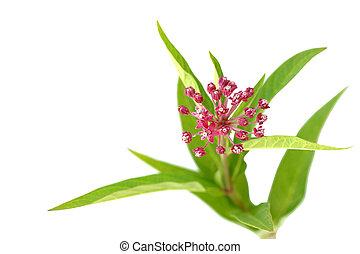 Swam Milkweed Flowers - Closeup of purple-pink Swamp...