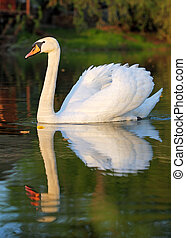 Swam with reflection