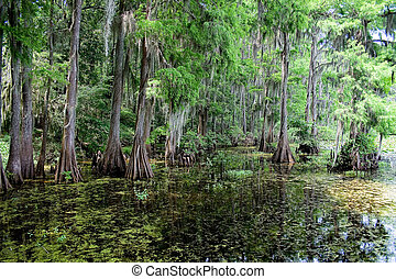 Moss covered trees in a swamp.