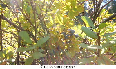 swamp blueberry berries