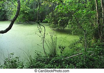 Green algae covered swamp in dense forest