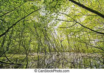 Swamp in a green forest with beech trees