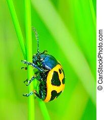 Swamp Milkweed Beetle perched on a plant stem.