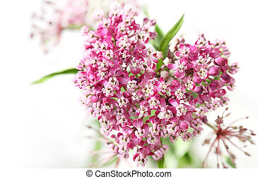 Swamp Milkweed Flower - Swamp Milkweed Wild Flower in the...
