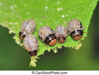 Swamp Milkweed Leaf Beetle Larva - Swamp Milkweed Leaf...