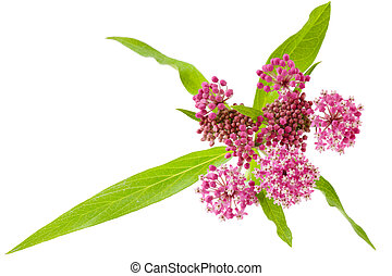 Swamp Milkweed Asclepias incarnata wild flowers isolated on...