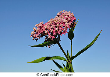 Swamp Milkweed Wildflower (Asclepias incarnata) Against a...