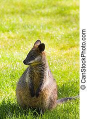 Swamp- or Black Wallaby - Cute little Swamp- or Black...