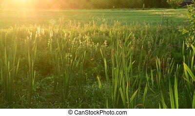 swamp overgrown bulrush at sunset - swamp overgrown of Typha...