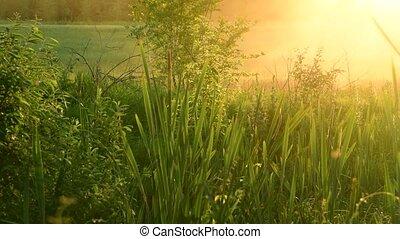 swamp overgrown Typha angustifolia at sunset - swamp...