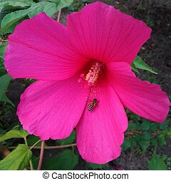 Swamp Rose Mallow, Swamp Rose Mallow, Hibiscus moscheutos, Flower macro with bee