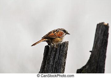 Swamp sparrow on a fence
