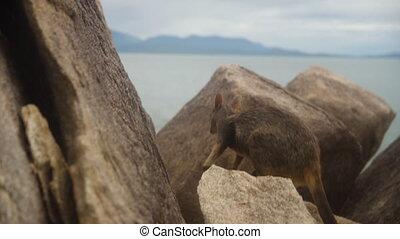Swamp Wallaby hops its way through big rocks - A moving...