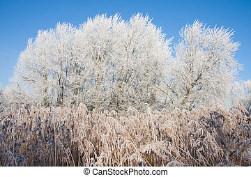 Swamp with frozen reed and trees in winter