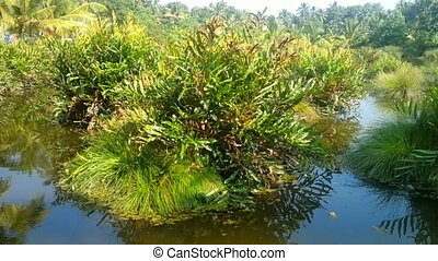 Lush tropical grass-roots swamp - Swampland. Lush tropical...