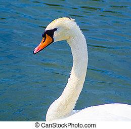 swan., 鳥, swan., 白い白鳥, 頭