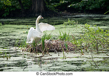 swan and chicks in the nest