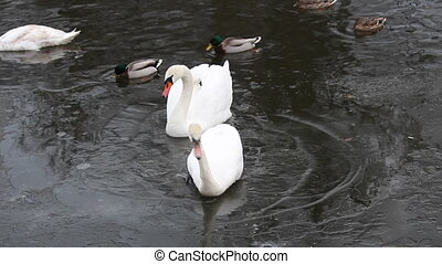 Swan and duck in frozen river