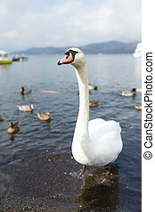 Swan and duck in the lake